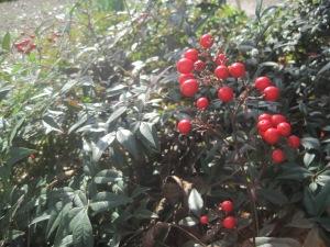 Nandina_berries