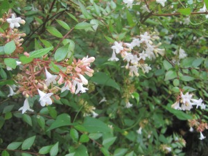 bush with white flowers
