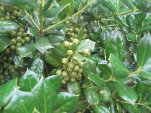 Hollies with green berries
