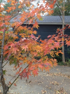 The Japanese maple is turning colors.