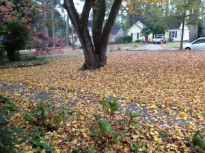 The leaves have all fallen from the popcorn tree.