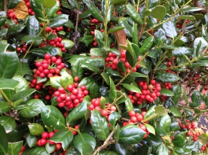The hollies have their red berries, too.