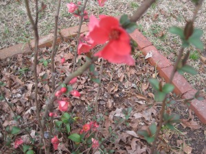 blooming_quince