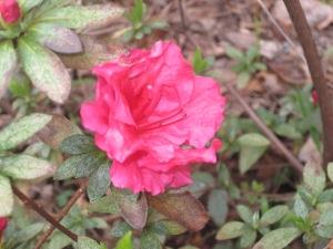 Azalea_Blooming