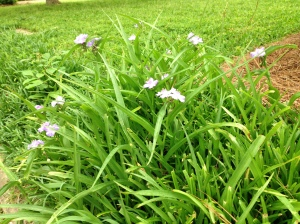 purple flowers among monkey grass