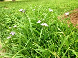 purple flowers among monkey grass