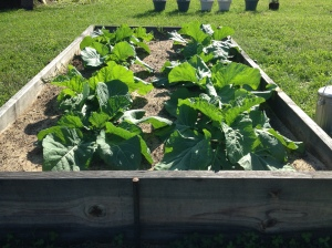 collards in garden