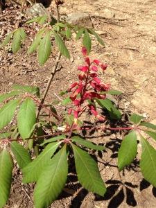 red flower in Chewacla