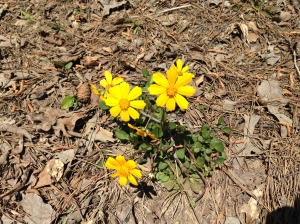 yellow flower at Chewacla