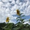 2019-07-08 sunflowers